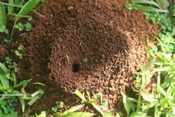 ant nest in yard