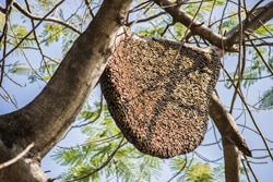 effective bee control for bee hive in tree