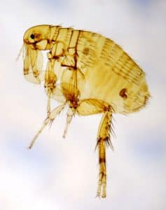 X-Ray image of a flea