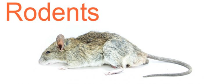 Rodent Control – Effective Way to rid of Mice and Rats