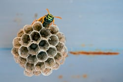 Leave wasp control to the experts and rest easy