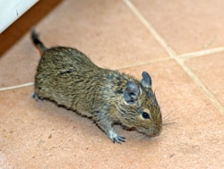 Fast Effective Mouse Control needs a Pest Controller